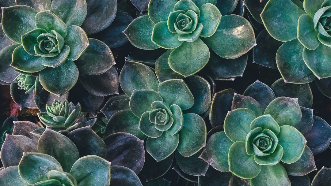 easiest succulent plants to keep alive